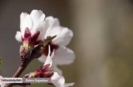 رخ نمایی شکوفه های بهاری در سیدان
