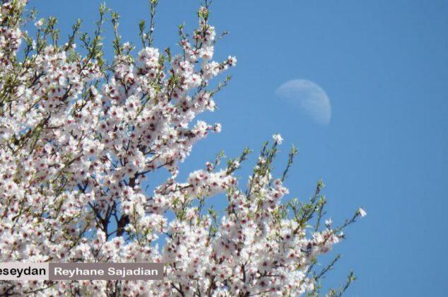 خودنمایی شکوفه های بهاری در سیدان