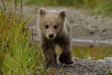 تلف شدن خرس قهوه ای در برخورد با قطار در تنگ خشک