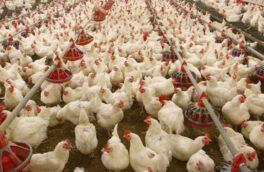 قیمت مرغ در فارس بال درآورد